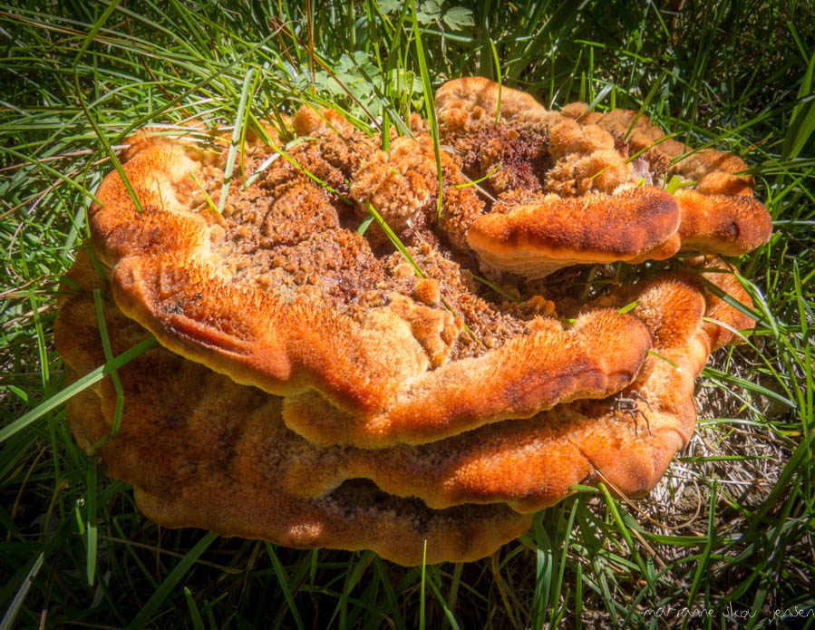 Watch Out For Velvet Top Fungus During the Rainy Pacific Northwest Winter