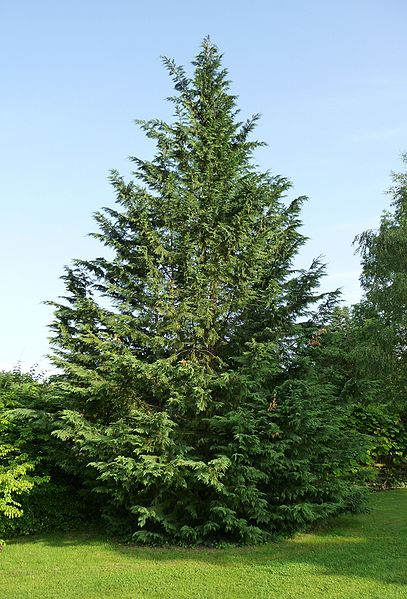 Nine Reasons to Avoid Leyland Cypress Trees