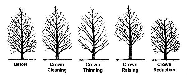Crown Cleaning Ensures the Health of Mature Trees